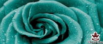 фототапет панел с прекрасна голяма роза в тюркоазено