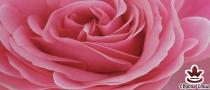фототапет панел с прекрасна голяма розова роза